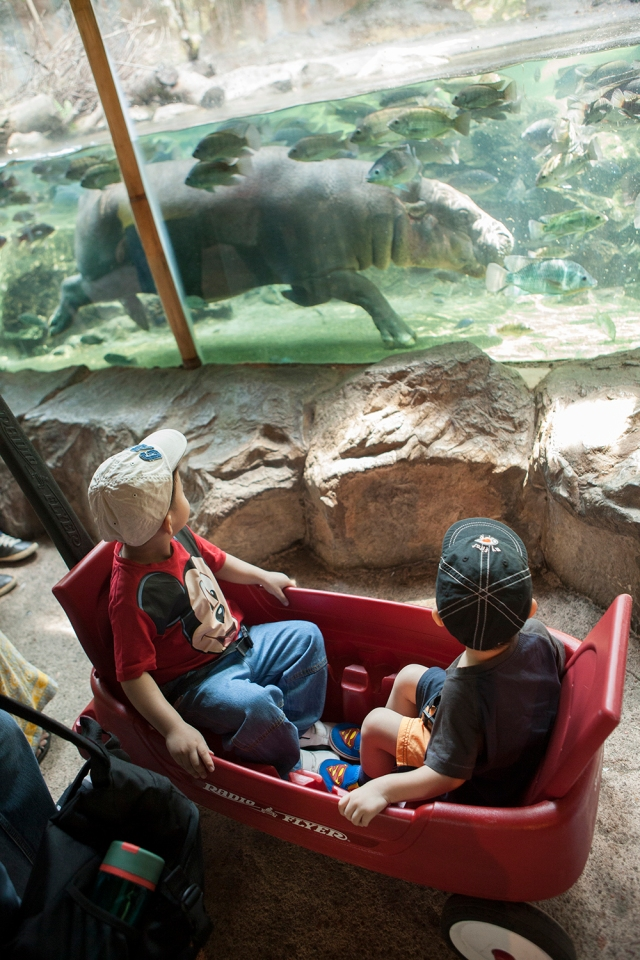 kids watching the pygmy hippo