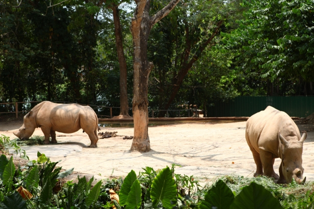rhinos singapore zoo jar concengco